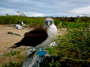 Galapago's Booby